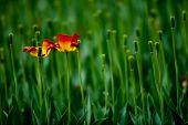 A beautiful tulip