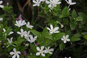 Wrightia antidysenterica or White Snowflake