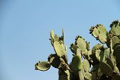 Opuntia (prickly pears) cactus on blue sky.