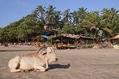image of sea cow  - Cow on the beach in Goa - JPG
