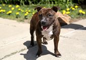 Staffordshire Terrier posing