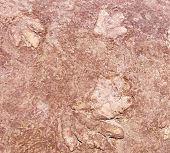Hadrosaurian (duckbilled) Dinosaur Foot Print In Arizona