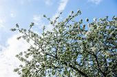 Blooming Branches Of The Apple Tree Against The Blue Sky