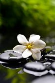 stock photo of gardenia  - Spa still with gardenia flower on pebbles and green plant - JPG