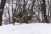 Coyotes in a Canadian landscape
