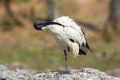 A Sacred Ibis (threskiornis Aethiopicus) Preening Horizontally