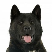 pic of akita-inu  - american akita in front of white background - JPG