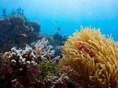 Vivid coral reef and clown fish