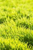 Background of fresh bright green grass