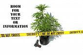 Genuine Medical Marijuana Plant growing in a 1 gallon black pot, isolated on white with genuine