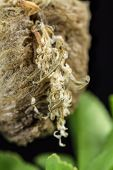 Praying Mantis Nymphs Hatching From Egg