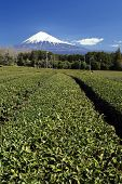 mountain fuji and green tea field from shizuoka, japan