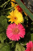 warm pink gerbera daisy with smaller yellow one