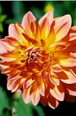 Yellow And Red Dahlia