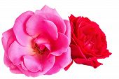 Pink And Red Roses On A White Background