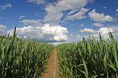 Fresh Midsummer Wheat Field