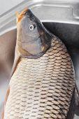 Big Carp Fish
