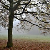 Beech Trees In The Fog.