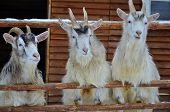 three goats