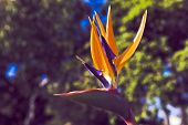 Bird Of Paradise--strelitzia Reginae