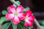 foto of desert-rose  - close up of flower Impala Lily Adenium Desert Rose - JPG