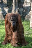 Grownup orangutan