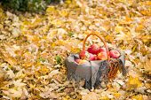 basket with apples on autumn leaves in the forest