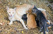 Cat Breastfeeds Kittens