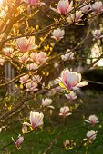 Magnolia Flowers On A Blury Background At Sunset