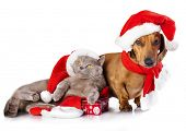 dog  dachshund and  british cat wearing a santa hat