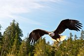 picture of bald headed  - North American Bald Eagle In Mid Flight - JPG
