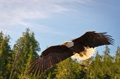 North American Bald Eagle among trees
