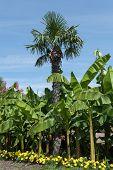 Palm And Banana Trees