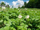 foto of solanum tuberosum  - White blooming potato bush flowers in a vegetable garden - JPG