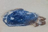 picture of jellyfish  - Jellyfish Stranded dead on the sand Beach - JPG