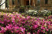 picture of azalea  - The Historic Squares in Savannah full of Azaleas in bloom - JPG