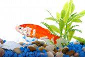 foto of goldfish  - single goldfish in aquarium over white background - JPG