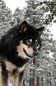 image of wolf-dog  - Black wolf looking down in snowy forest - JPG