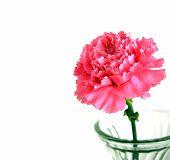 Rosa Nelken Blume
