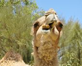 image of hump  - The facial expression of a camel with one hump in the desert of Australia - JPG