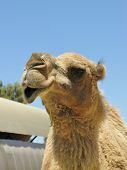 pic of hump  - The facial expression of a camel with one hump in the desert of Australia - JPG