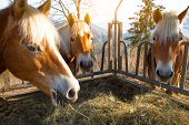 stock photo of horses eating  - Horses eat grass from the manger in the mountain of italy - JPG