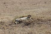 picture of cheetah  - african cheetah is relaxing in the savanna during the morning - JPG