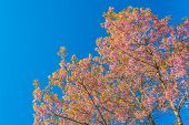 stock photo of fukushima  - Wild Himalayan Cherry flower - JPG