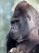 stock photo of gorilla  - Portrait of a male Gorilla with a green background - JPG