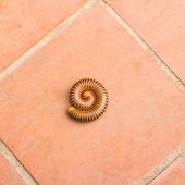 pic of millipede  - Close up millipede on the cement floor - JPG