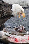 Bald Eagle Feeding