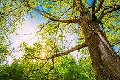 stock photo of canopy  - Spring Sun Shining Through Canopy Of Tall Oak Trees - JPG
