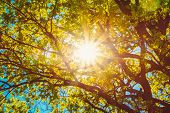 pic of canopy  - Spring Summer Sun Shining Through Canopy Of Tall Trees - JPG