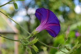 foto of ipomoea  - ornamental flowering creepers Ipomoea blue in the garden - JPG
